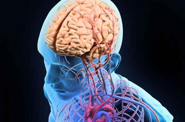 Human-anatomy-illustration-central-nervous-system-with-a-visible-brain-Shutterstock-800x430